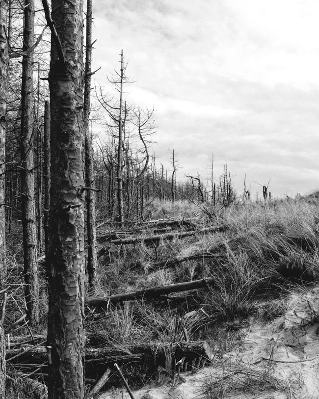 Forest meeting the dunes. Tree Tree Trunk Sky Nature Day Outdoors No People Tranquility Forest Tranquil Scene Growth Landscape Cloud - Sky Beauty In Nature Scenics Beachphotography Blackandwhite Photography Greytones Nature Beach Forest Trees