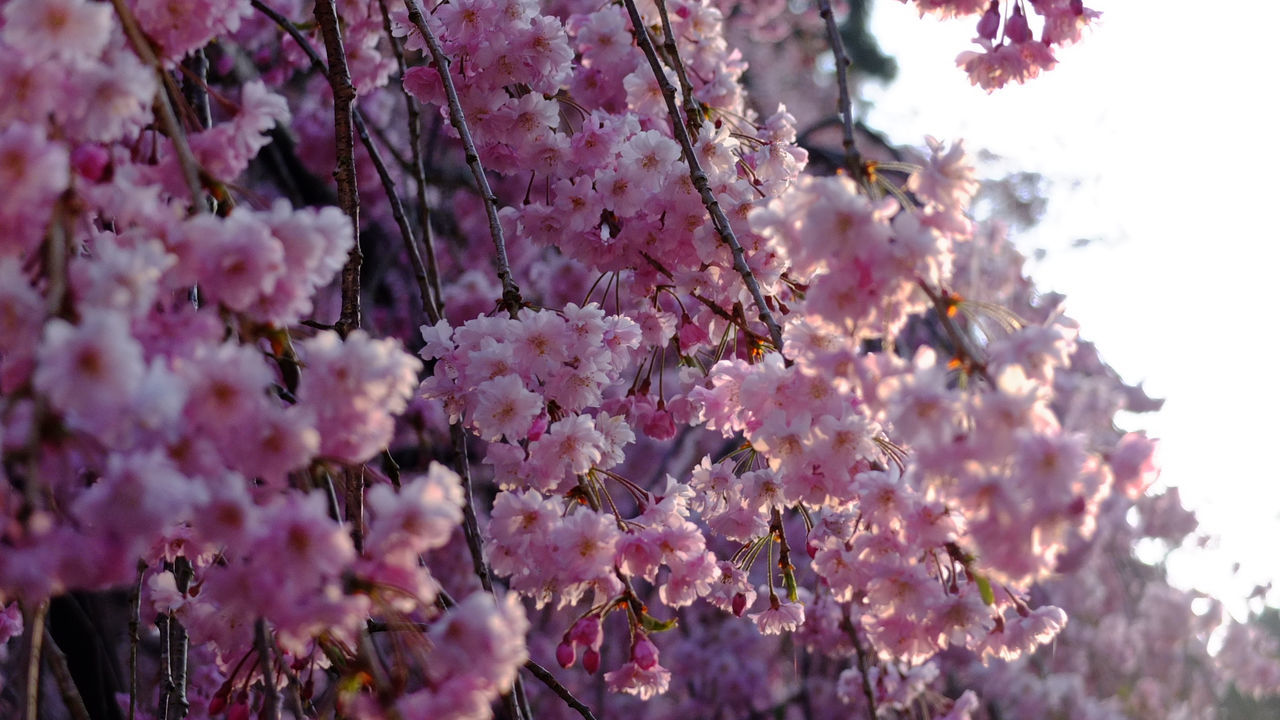 Beauty In Nature Blossom Cherry Blossoms Close-up Flower Fragility Freshness Growth Hanging Japan Mount Koya Nature No People Pink Color Sacred Places Springtime Sunrise Sunrise_Collection Sunrise_sunsets_aroundworld Tree