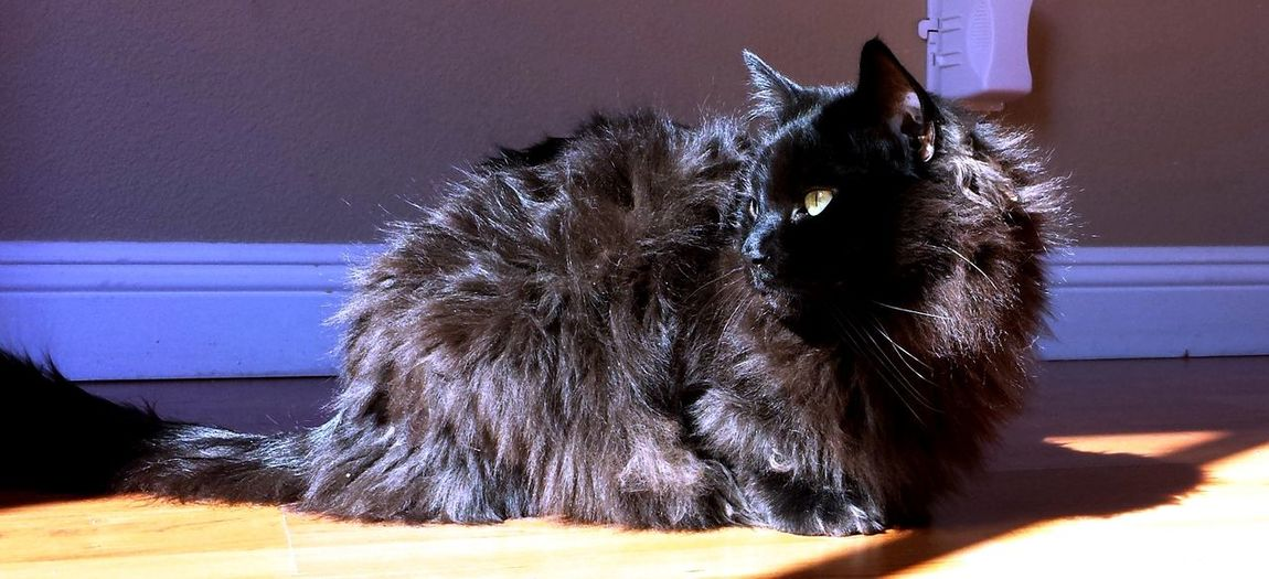 Animal Themes Black Cats Cat Model Cat Silhouette Domestic Animals Feline Felines Green Eyed Cat Halloween Cats Indoors  Longhaired Cats Looking At Me Mammal One Animal Pets Ragdoll Cats Shadow Cat Sitting Pretty Staring Transfixed Window Cat Yellow Eyed Cat Cat Photography