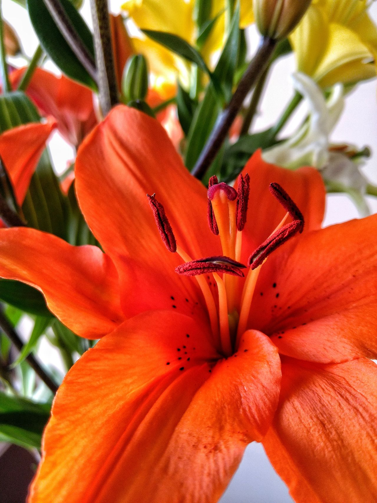Flower Flower Head Close-up Orange Color Fragility Lilies