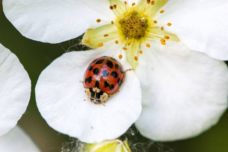 Käfer auf Blume Animal Themes Animal Wildlife Animals In The Wild Beauty In Nature Close-up Day Flower Flower Head Fragility Freshness Frühling Herrgottskäfer High Angle View Insect Ladybug Macro Macro Nature Marienkäfer Nature No People One Animal Outdoors Petal Tiny White Color