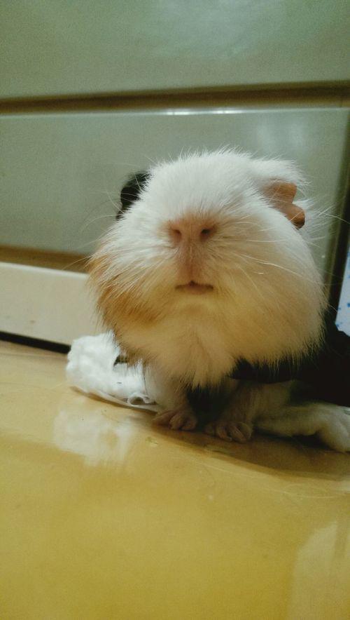 Hanji Guinea Pig Hi! 2015