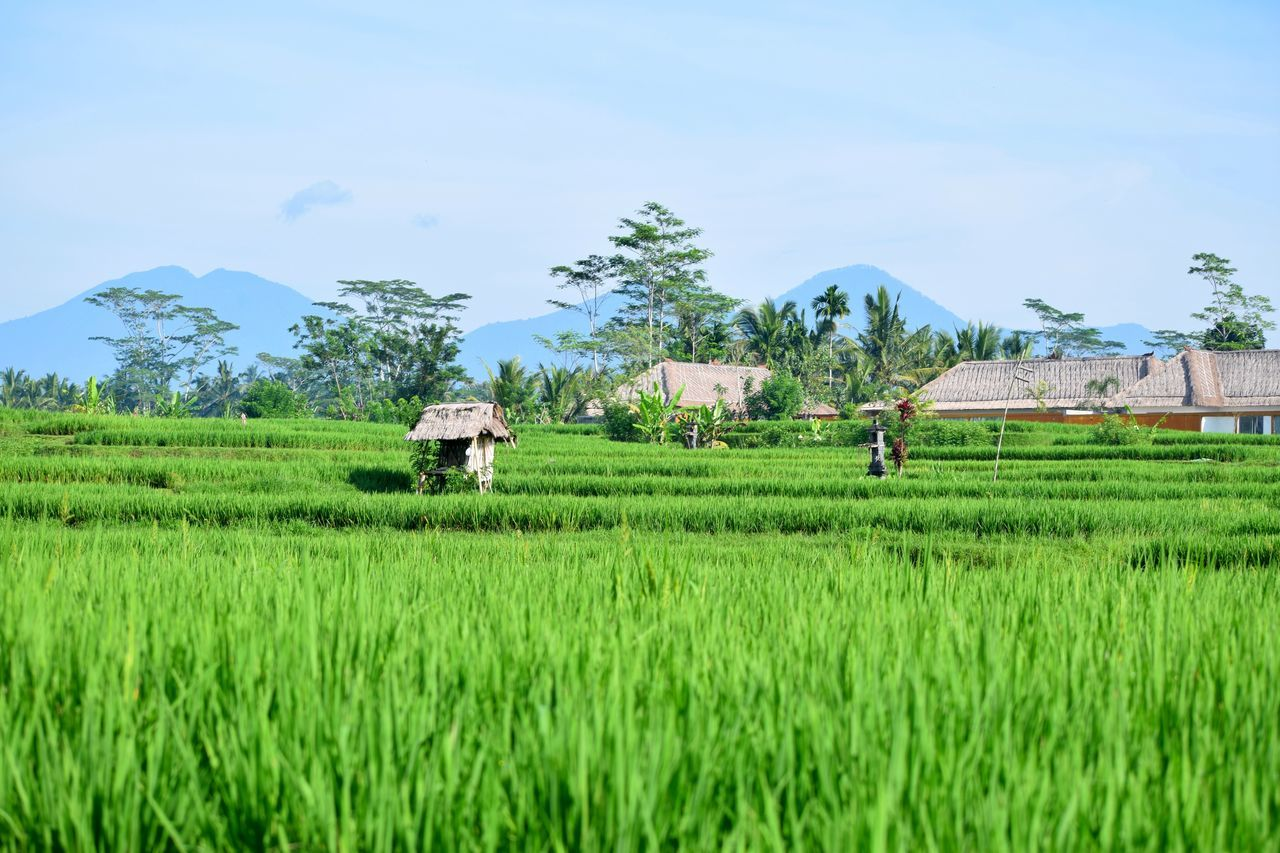 Asian style houses in a middle of a rice field in Bali Indonesia Agriculture ASIA Bali Bali, Indonesia Farm Grass Green Color House Landscape Miuntains Mountain Nature Outdoors Rice Rice Field Rice Fields  Rice Paddy Rice Terrace Rice Terraces Rural Scene Sky Tree