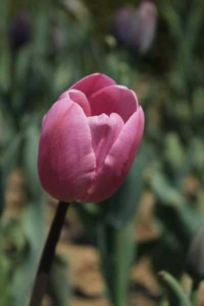 🌷 Lale Tulip Flower Petal Nature Fragility Beauty In Nature Plant Growth Flower Head Blooming No People Freshness Pink Color Close-up Outdoors Day