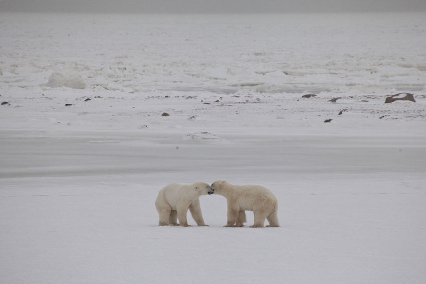 Two Polar Bears get together CHURCHILL Endangered Species National Park Animal Themes Animal Wildlife Animals In The Wild Bear Beauty In Nature Canada Cold Temperature Day Full Length Ice Landscape Mammal Nature No People North Polar Sea Outdoors Polar Bear Polar Climate Snow Walking White Color Winter