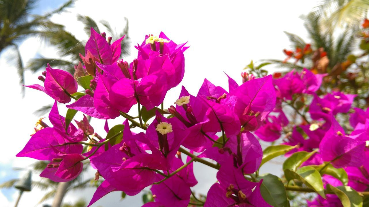 Bougainvillea Blooms In Park