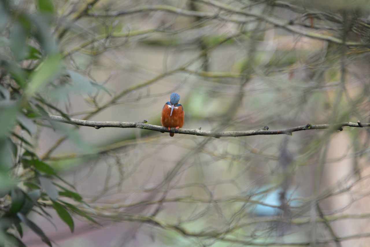 one animal, animals in the wild, animal themes, bird, perching, animal wildlife, focus on foreground, nature, day, branch, outdoors, no people, kingfisher, beauty in nature, close-up, tree