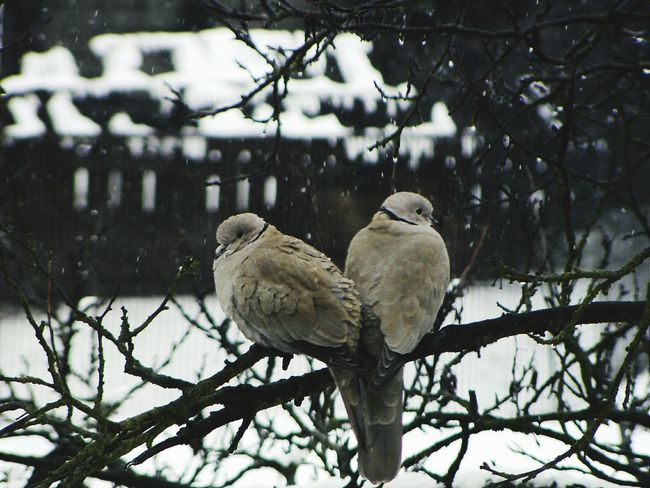 Dove Bird Animal Themes Tree Animals In The Wild Doves Heart Shape Nature Heart Shaped  Love Forever Foreverlove Forever Together Forevertogether Allegiance Allegiant Nature_collection Nature Wintertime Winter