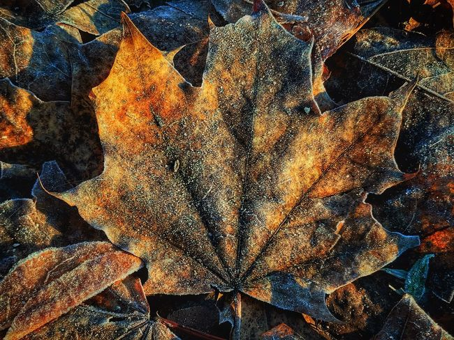 iPhone 7 Plus, Snapseed Leaf Autumn Change Dry Maple Leaf Nature Maple No People Outdoors Full Frame Close-up Day Fragility Backgrounds Beauty In Nature