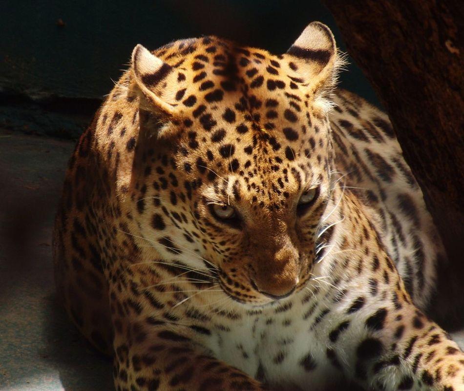 Beautiful stock photos of leopard, Animal Captivity, Animal Themes, Animals In The Wild, Animals Markings