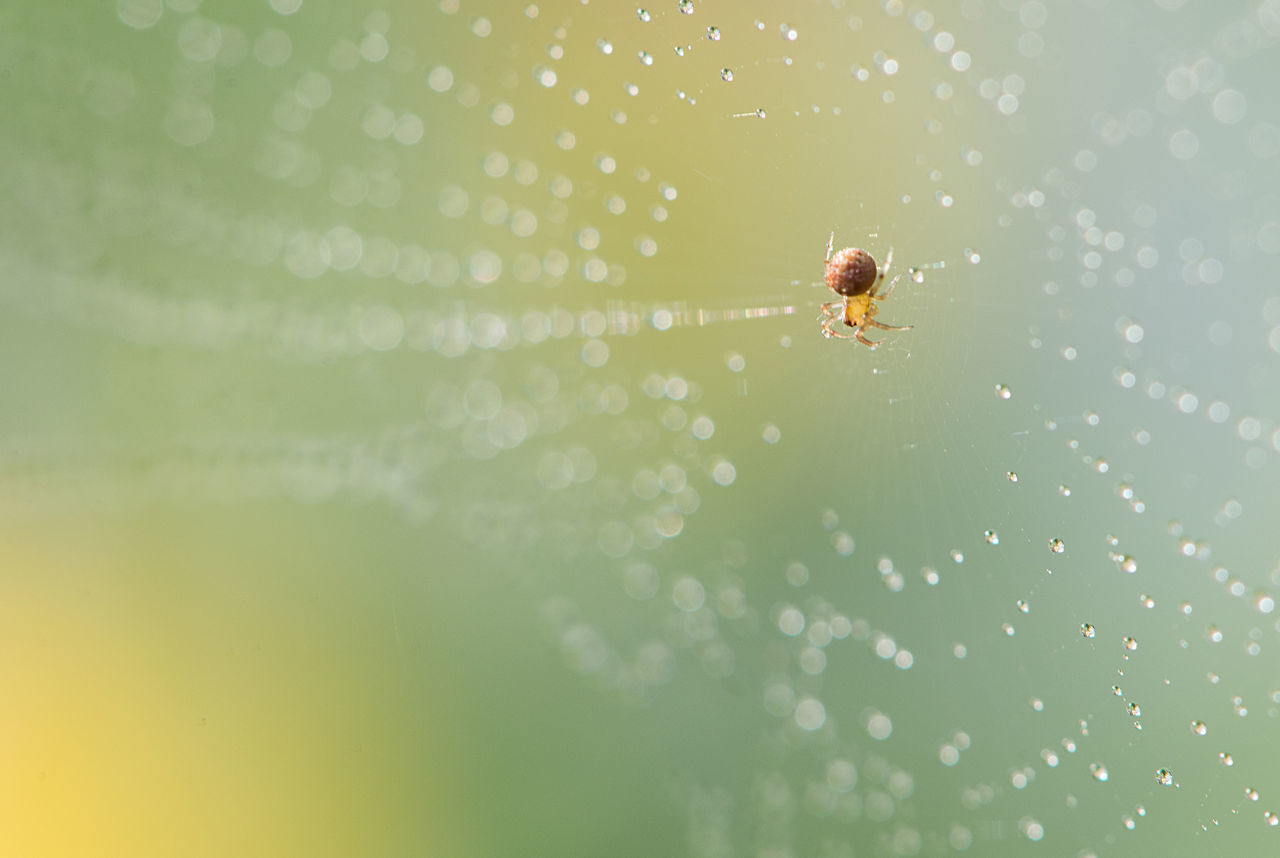 Animal Themes Animal Wildlife Animals In The Wild Beauty In Nature Close To Nature Close-up Day Dew Drops Dew Drops On Spider Web Fragility Freshness Insect Jumping Spider Nature No People One Animal Outdoors Spider Spider Web Survival Water Web Wet
