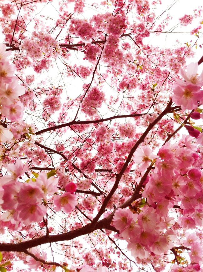 Cherry Blossoms Cherry Tree Cherry Flower Cherry Flowers Flowers Spring Springtime Spring Flowers Spring Time Happy Pink Pink Flower Pink Color Pattern Showcase: February