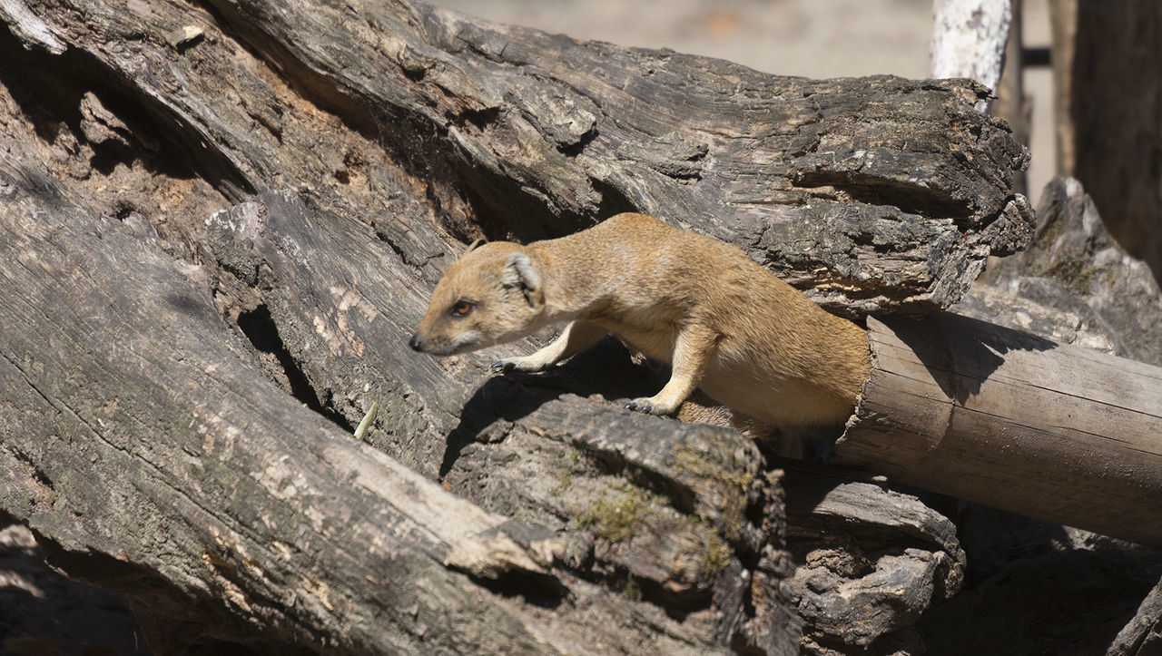 Yellow Mongoose on driftwood - Cynictis penicillata Africa Animal Wildlife Animals In The Wild Barren Camouflage Close-up Curiosity Cynictis Penicillata Dead Tree Den Driftwood Feline Hollow Meerkat Mongoose No People One Animal Outdoors Side View Tawny Tree Tree Trunk Walking Wildlife Yellow Mongoose The Secret Spaces