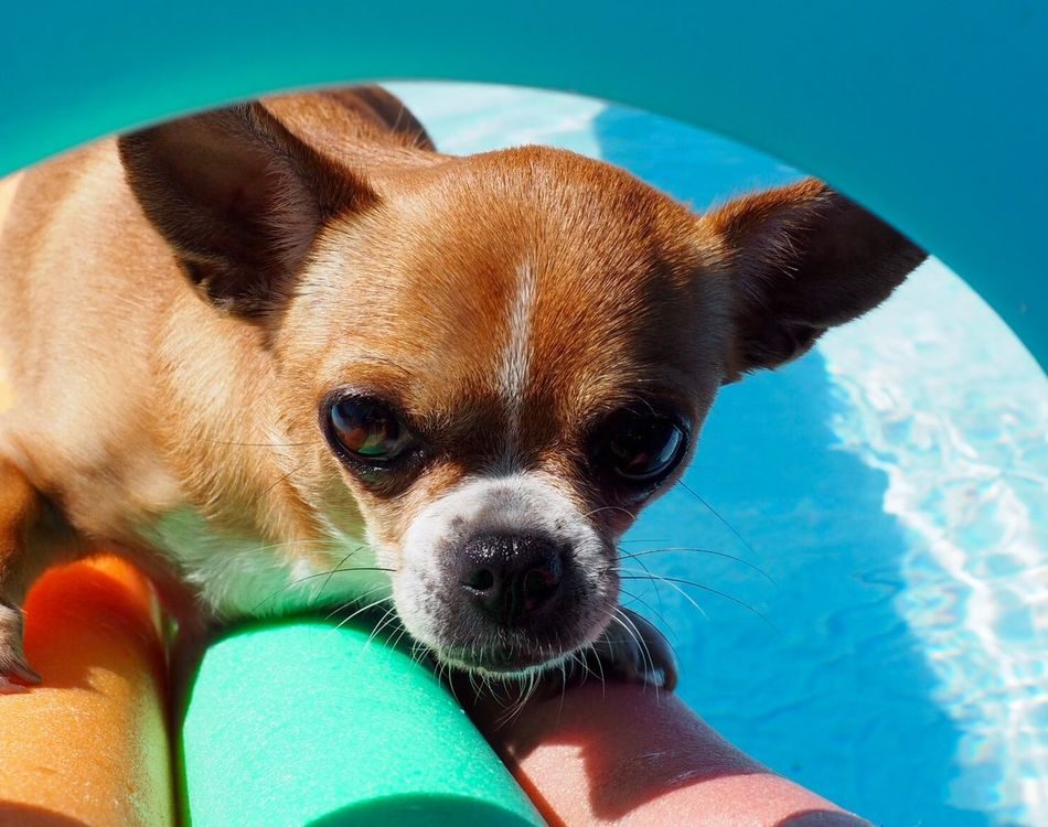 Beautiful stock photos of chihuahua, Animal Themes, Arch, Brown, Chihuahua - Dog