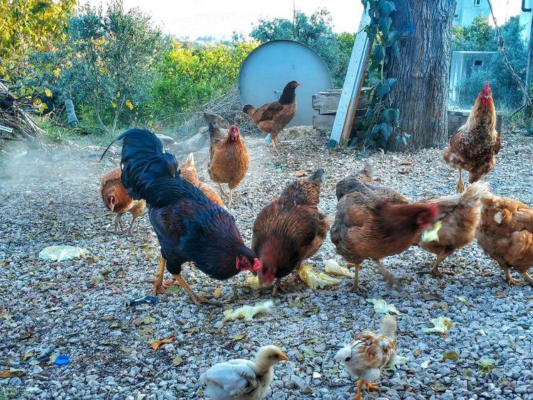 Tavukların Gücü Adınaaaa 💪😁😂 Tavuk Chickens Tavuklar Hi! Hello World The Human Condition. Photography The Human Condition First Eyeem Photo Animal Animals Mersin Chicken.