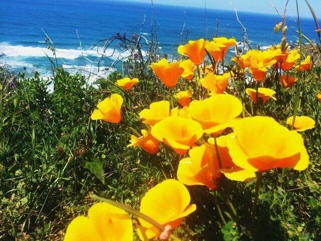California Poppies Beach