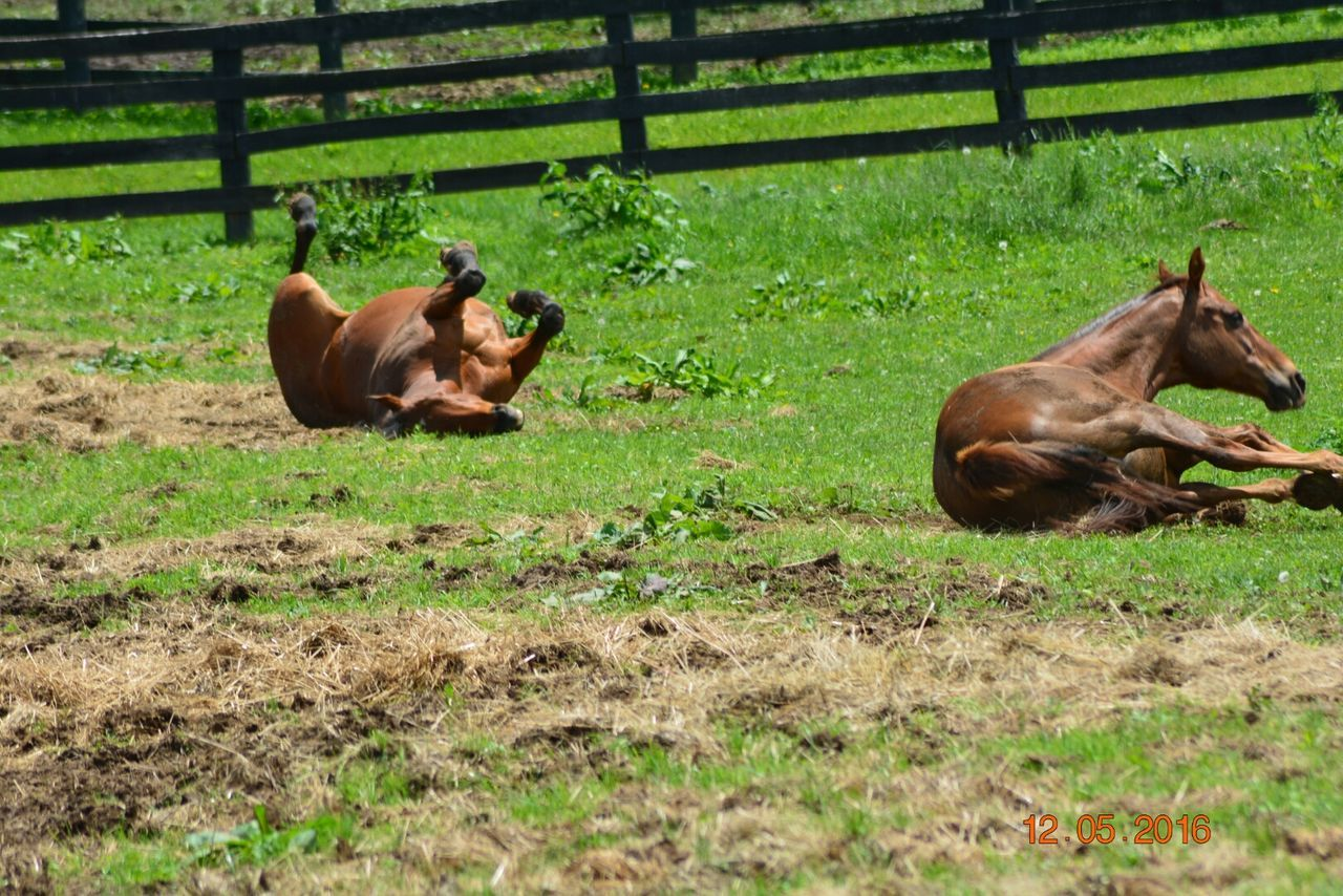 animal themes, mammal, grass, field, no people, nature, relaxation, outdoors, day, domestic animals, animals in the wild