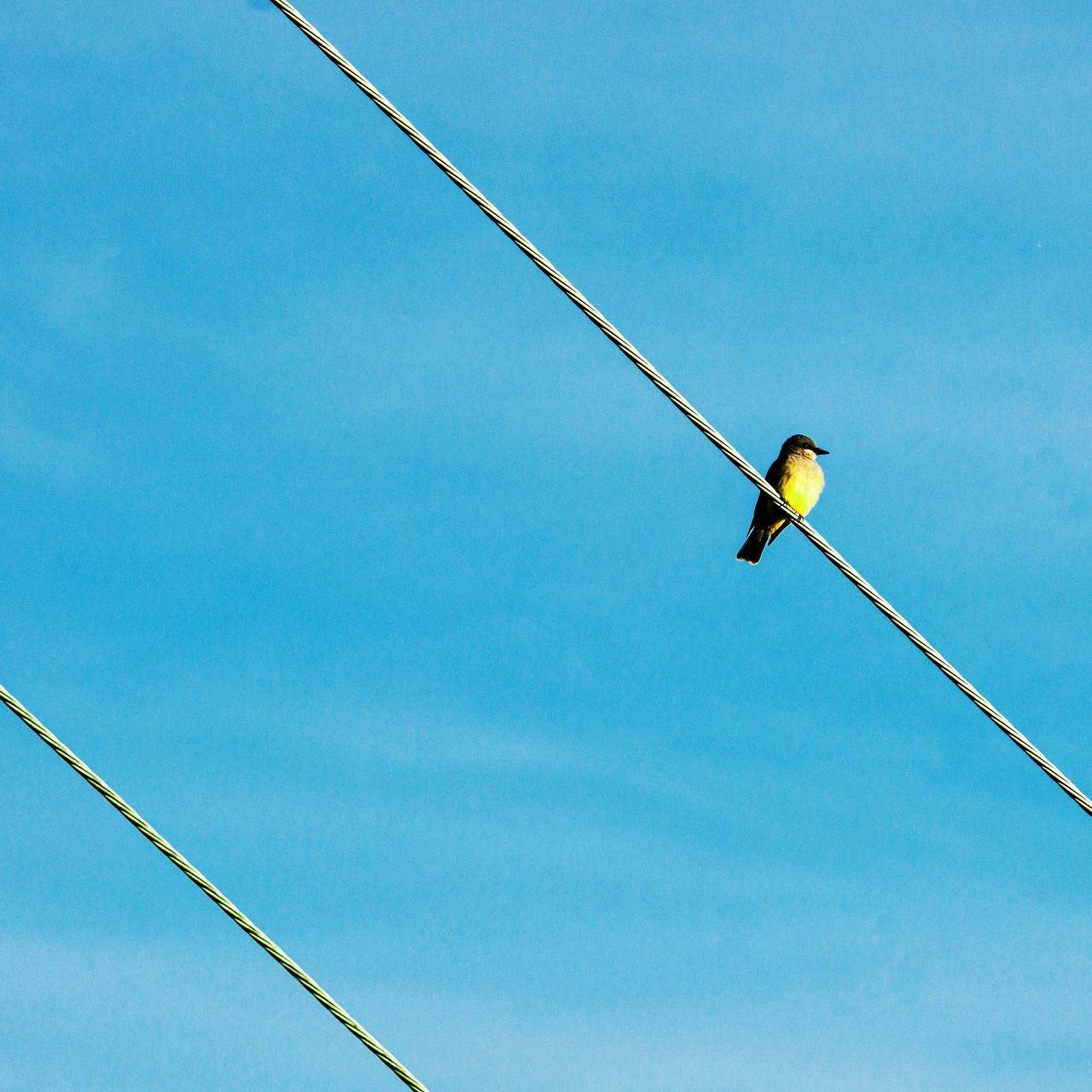 Yellow on Blue Blue Nature One Animal Bird Day Clear Sky No People Animals In The Wild Beauty In Nature Outdoors Sky Nature Photography Nature High Voltage Electricity  Electric Power Lines Wildlife