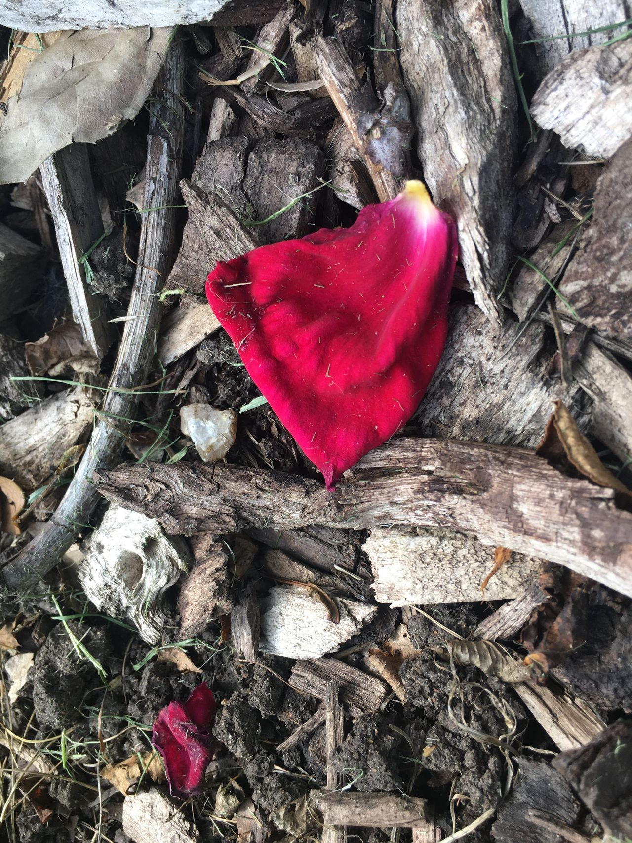 🥀 Petal Beauty Nature Heart Shape Love Red Nature Fragility Flower No People Petal High Angle View Leaf Outdoors Day Beauty In Nature Close-up Rose Petals Flower Head Dead Petals Fallen Petals