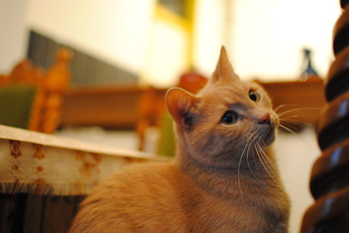 Cats Of EyeEm Cats 🐱 Pet Portraits Animal Themes Cat Cat Lovers Catoftheday Cats Close-up Day Domestic Animals Domestic Cat Feline Focus On Foreground Ginger Cat Home Interior Indoors  Mammal No People One Animal Pets Siamese Cat Sitting Whisker Yellowcat