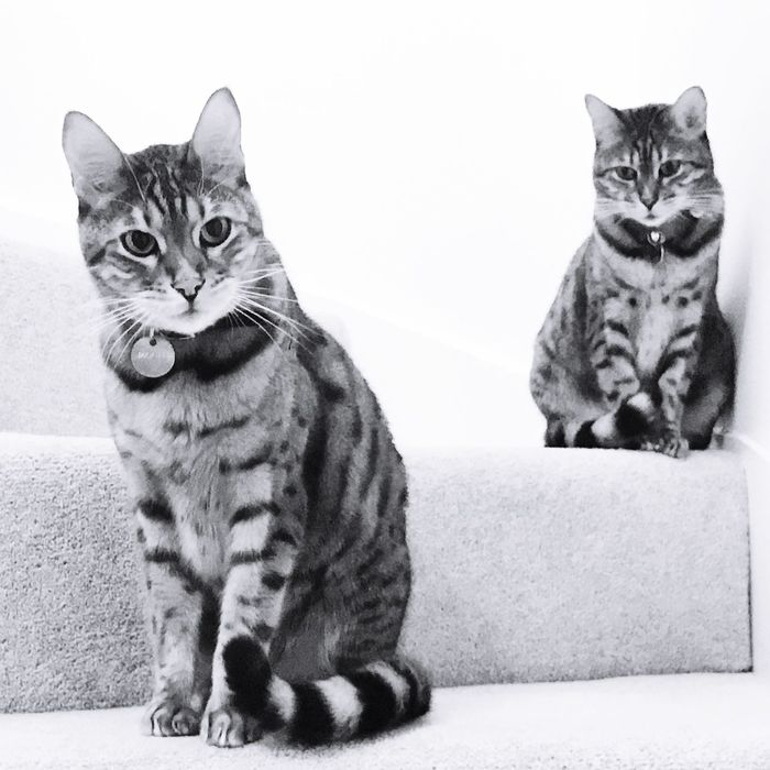 Two pedigree Bengal cats Domestic Cat Pets Domestic Animals Looking At Camera Animal Themes Feline Mammal Portrait Whisker Cat One Animal No People White Background Indoors  Tabby Radiator Close-up Day IPhone 7 Plus Bengal Cat Bengal Bengal Cat Lover Bengal Cats Bengals Bengalcat