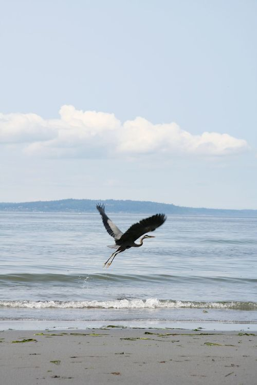 One Animal Animals In The Wild Nature Animal Wildlife Freedom Flying Sea Sky Outdoors No People Day Scenics Animal Themes Horizon Over Water Beauty In Nature Blueheron Bird Photography Birds Of EyeEm  Birdsinflight Birds And Blue Sky