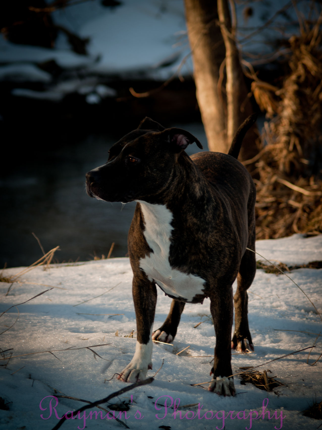 Photo♡ Photography Photographer Photography Is My Escape From Reality! Enjoying Nature The Photographer Ilovephotography Olympus Getolympus Creek Winter Down By The Creek Pitbull Lover I Love My Pitbull Ilovemypitbull Pitbull Love Pitbulls Pitbulllover Pitbulllove Pitbullsofinstagram Pitbull♥ Pitbull