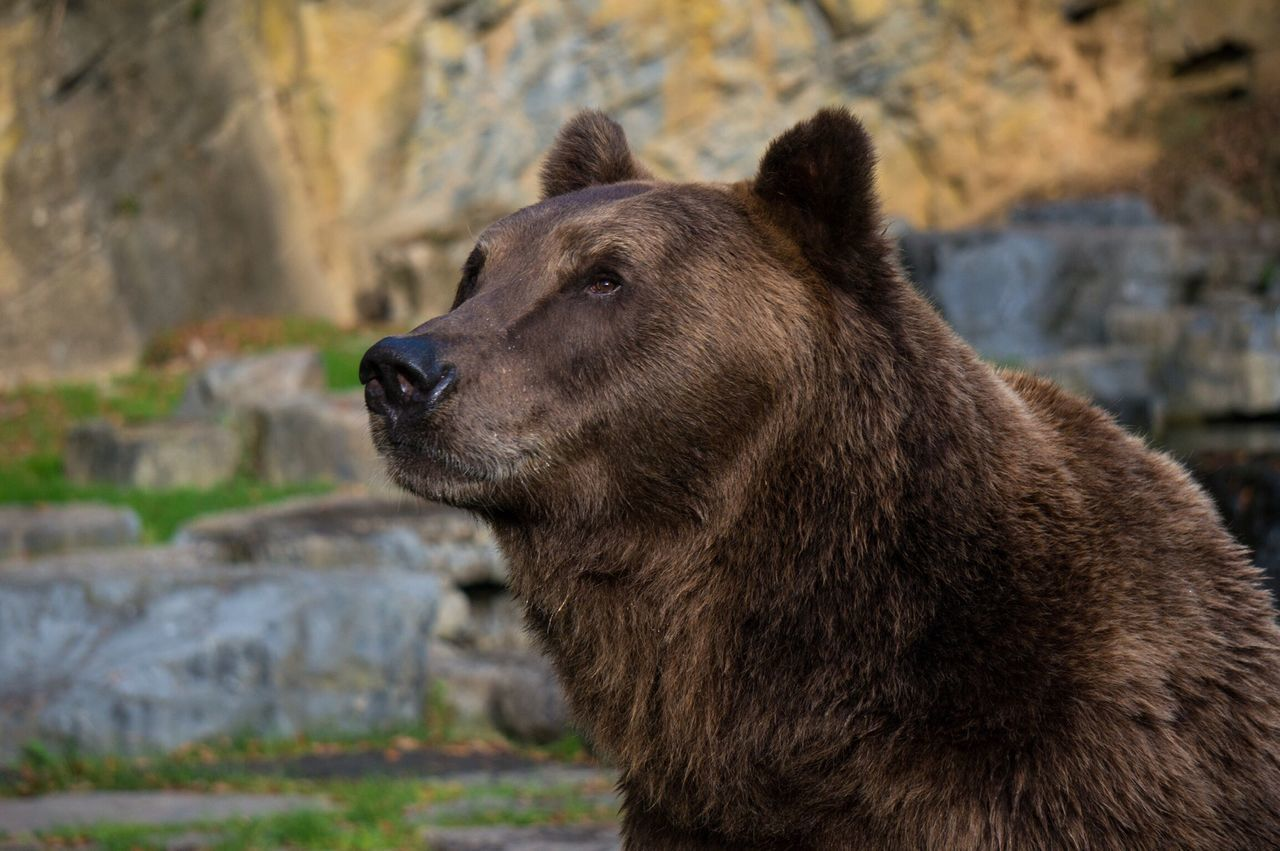 Beautiful stock photos of bear, Animal Themes, Animals In The Wild, Anticipation, Bear