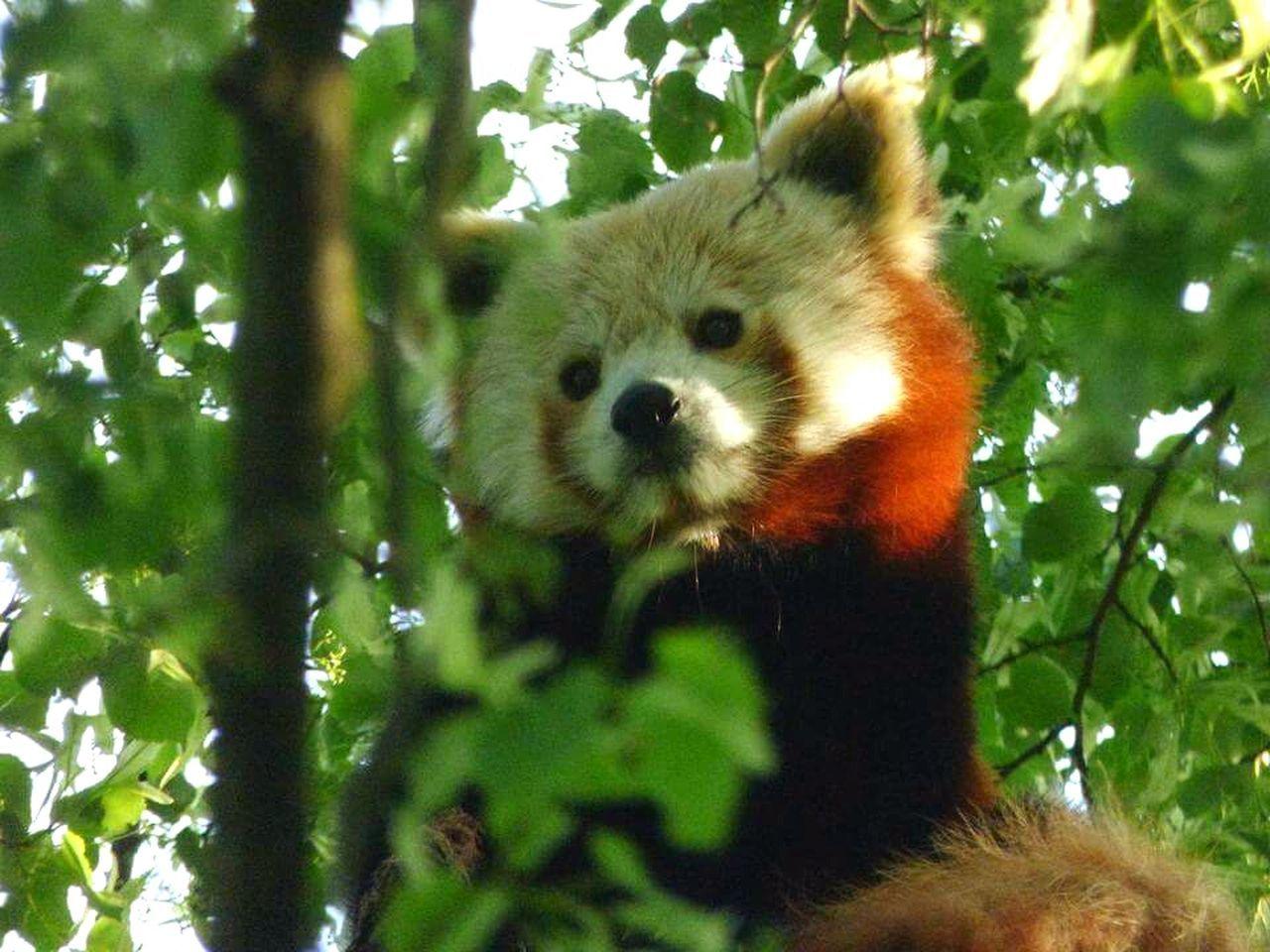 Red Panda Nature Tree Zoo Cuteness Animal Themes