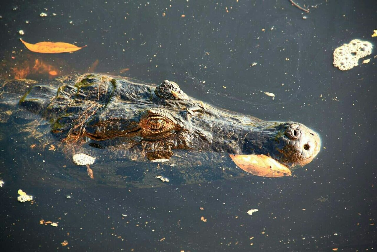 High Angle View Of Crocodile Swimming In River