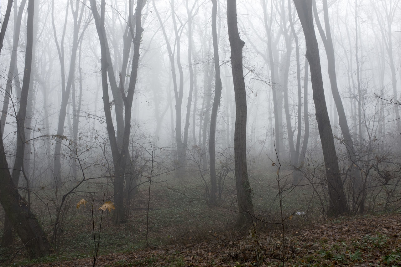forest, fog, tree, nature, tree trunk, landscape, tranquil scene, tranquility, beauty in nature, woodland, scenics, day, no people, autumn, outdoors, branch, hazy, bare tree, grass