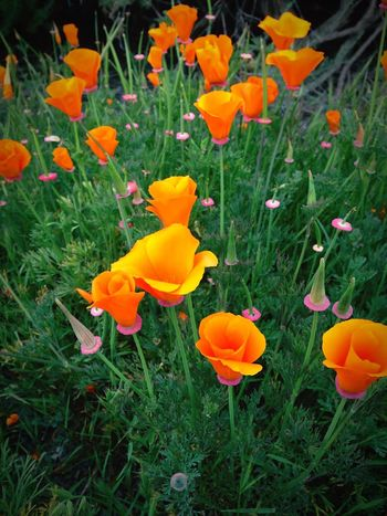 California Poppies California Poppy California Coast California Love California Dreaming Flower Petal Beauty In Nature Nature Plant Growth Flower Head Blooming Freshness Fragility Outdoors State Flower Orange Flower Roadside United States EyeCandy