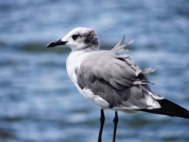 Seagull Bird Focus On Foreground Wildlife Maryland Perching Chesapeake Bay Close-up