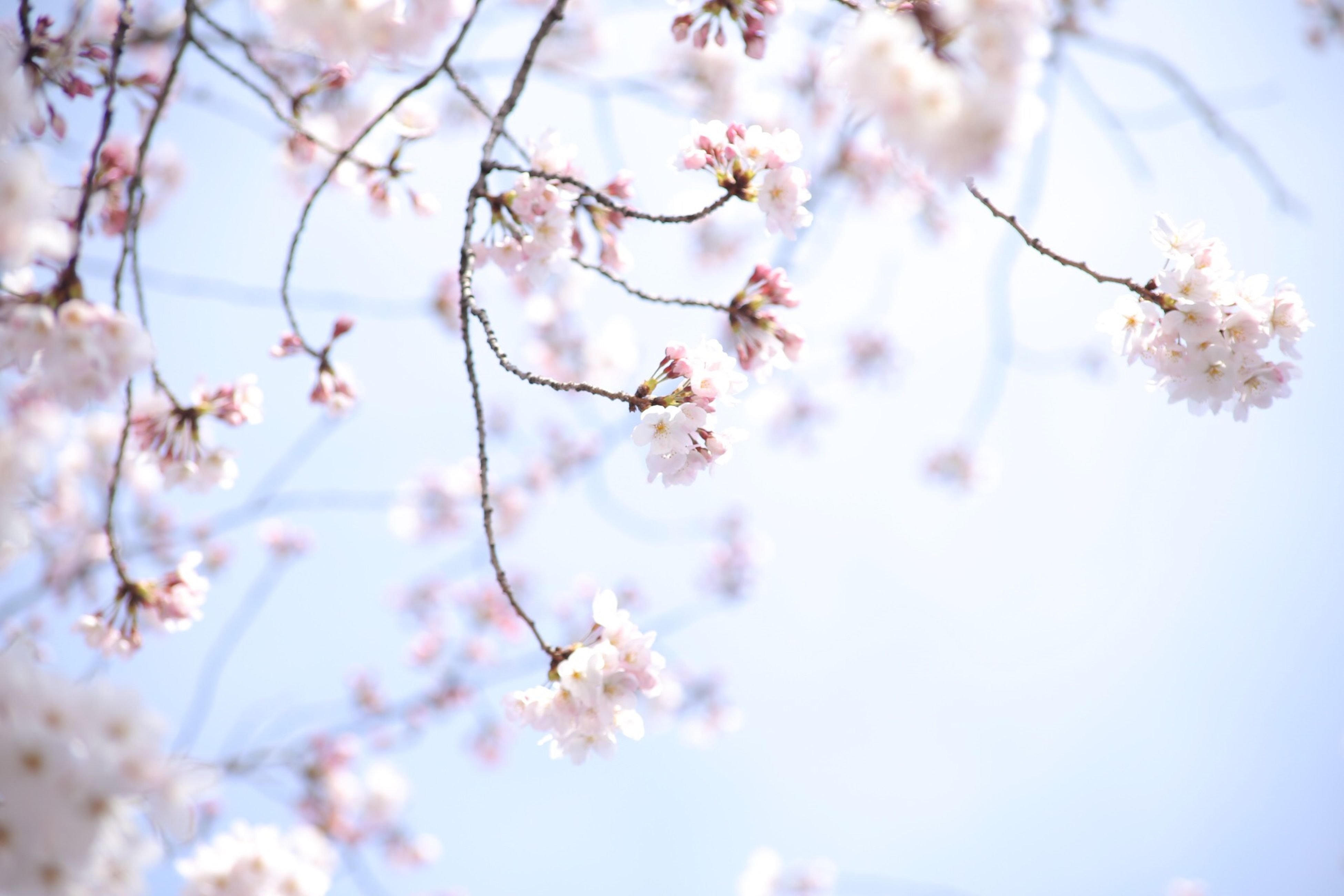 flower, freshness, branch, tree, growth, beauty in nature, fragility, cherry blossom, blossom, nature, cherry tree, focus on foreground, springtime, twig, pink color, low angle view, in bloom, fruit tree, close-up, blooming