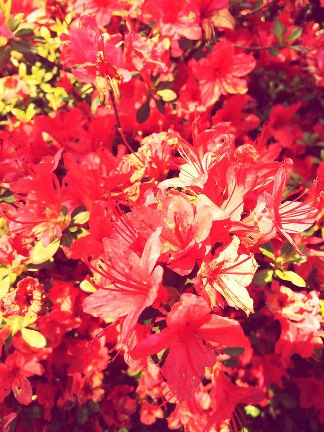 Red Flower Flowers,Plants & Garden Flower Collection Flowerporn Japanese