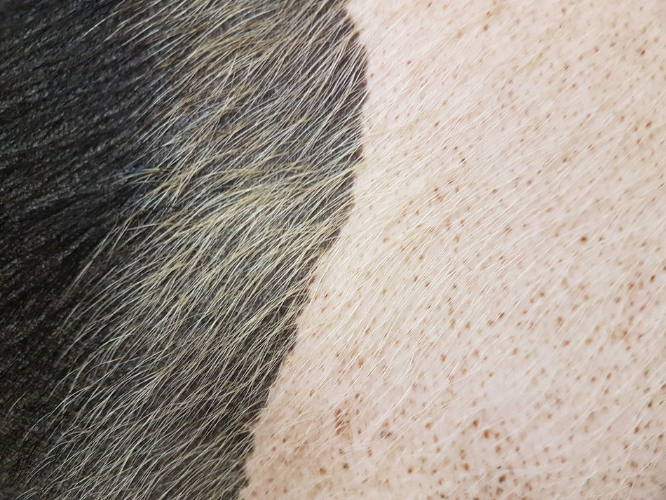 Backgrounds Animals Background Animal Themes Animal Skin Agriculture Agriculture Photography Meat! Meat! Meat! Meat Market Animal Photography Piggies Pork Pig Swine Meat Processing Cover Hairy  Animal Hair Pattern, Texture, Shape And Form Structure And Nature Textures And Surfaces Surfaces And Textures