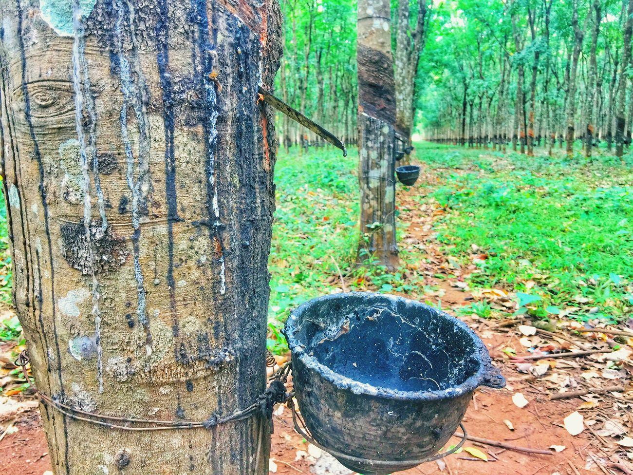 Rubber Rubber Plantation Tree Trunk