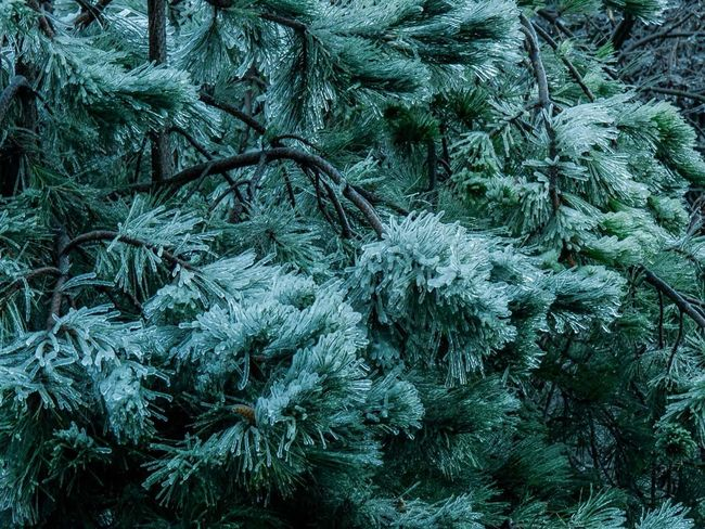 Winter Wonderland Wintertrees Frozen Nature Nature Frozentree Ice Icetree Bulgaria Varna Easterneurope Cold Coniferous Coniferous Tree Forest Winterforest Icesculpture December January Christmas Winternature Nature Freezingweather Natural Naturallight