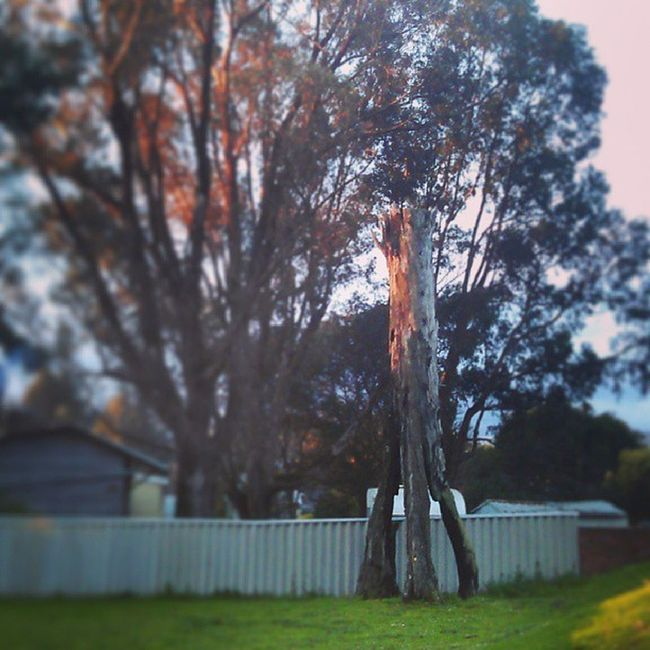 Rocket Tree At Manjimup West Australia