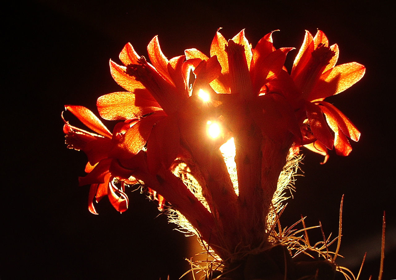 Cactus Cactus Flower Elégance Fire Light And Shadow Matucana, Perú Orange Color Springtime