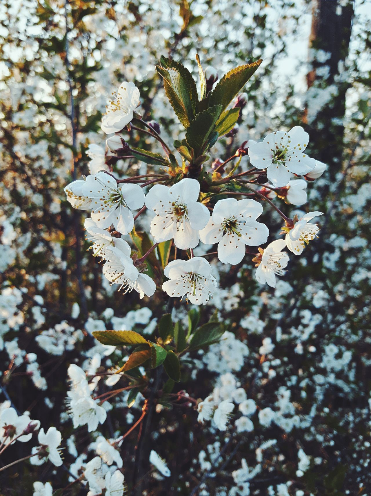 Cheery Tree Cherry Flowers First Eyeem Photo Polandball First Eyeem Photo