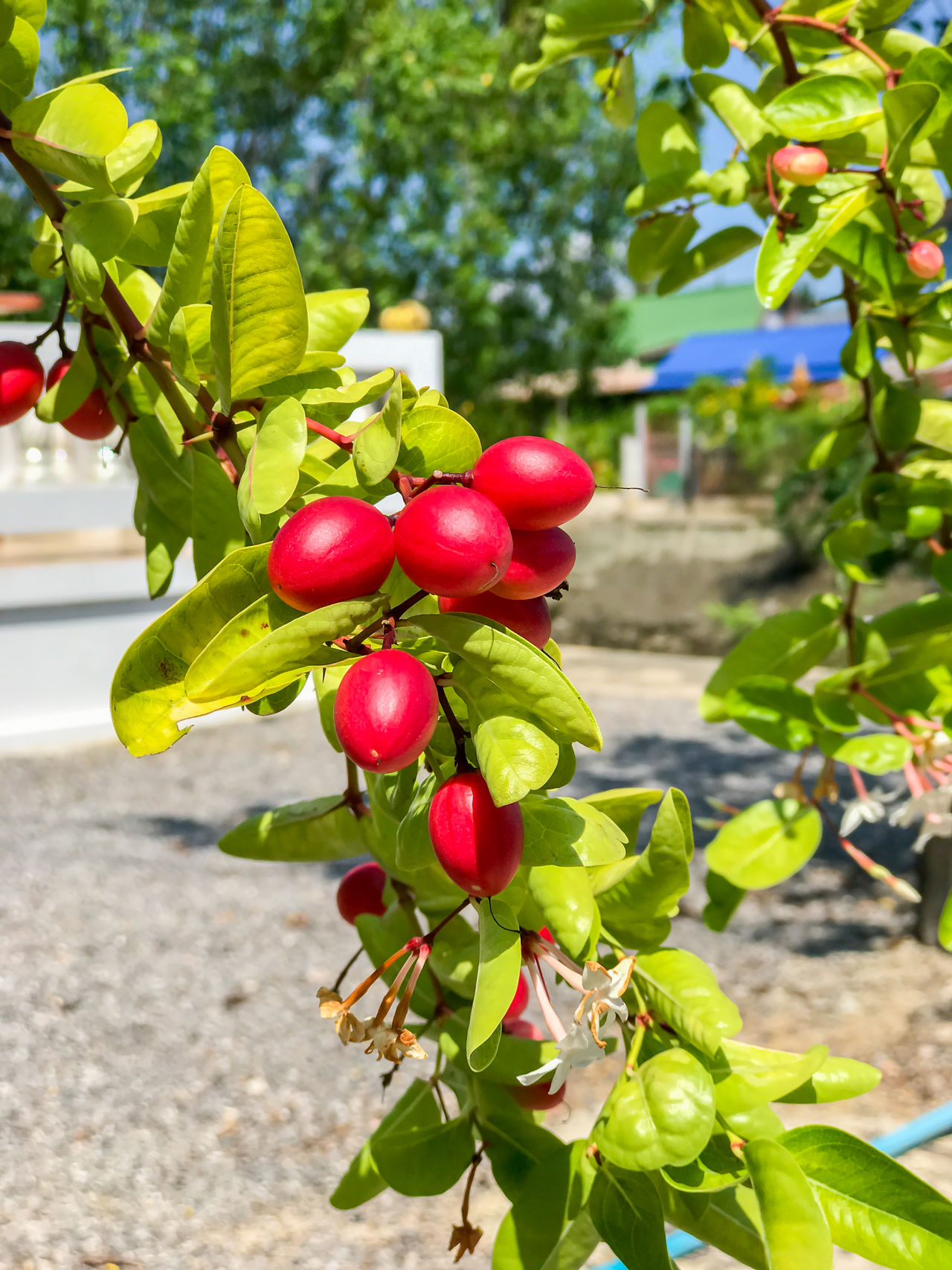 Carunda or Karonda fruit and green leaf on the tree Beauty In Nature Branch Close-up Day Focus On Foreground Food Food And Drink Freshness Fruit Green Color Growing Growth Healthy Eating Leaf Nature No People Outdoors Plant Red Tree Unripe