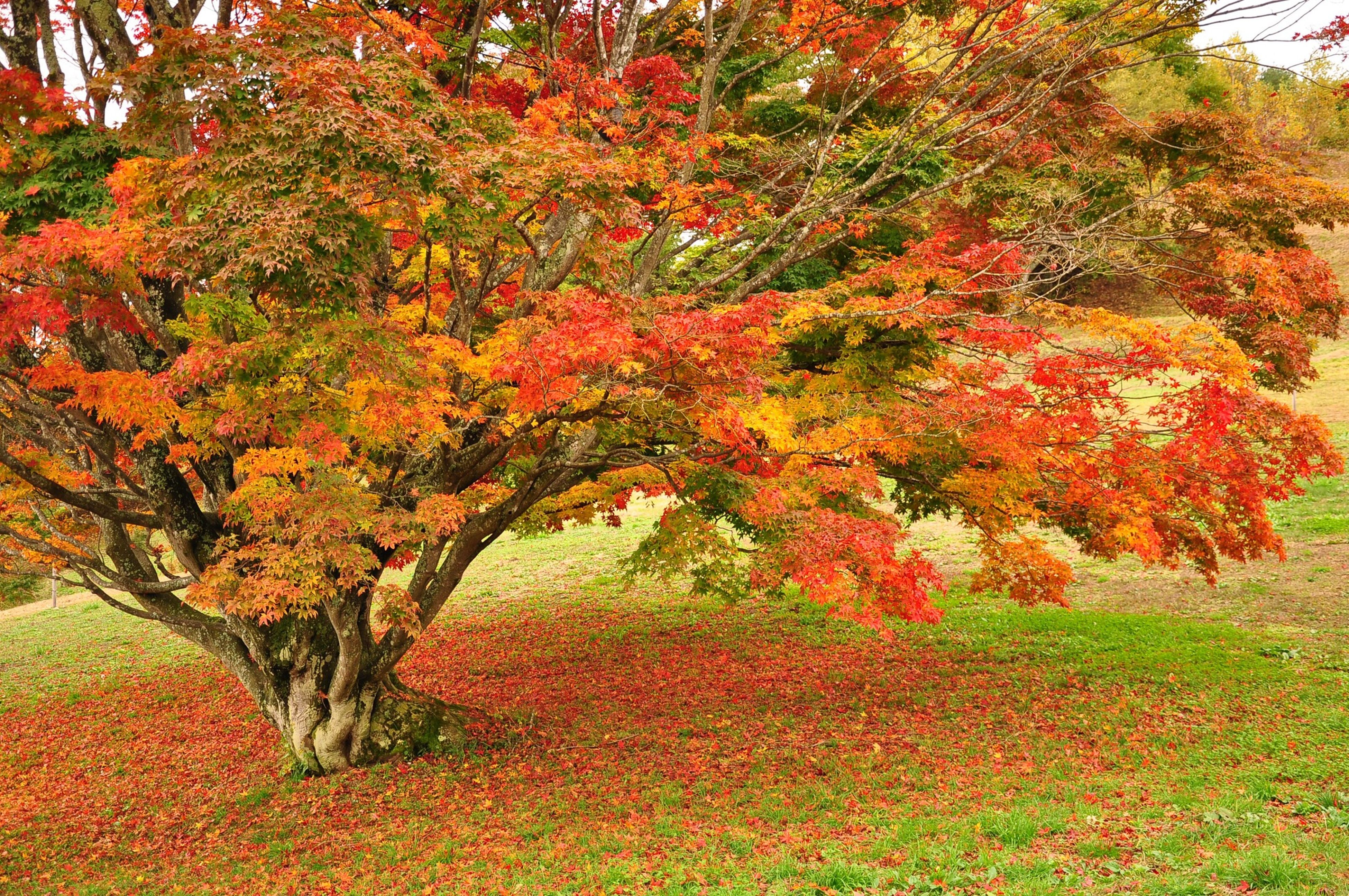 tree, autumn, growth, change, beauty in nature, tranquility, orange color, nature, season, tranquil scene, scenics, lush foliage, branch, forest, red, plant, idyllic, day, green color, no people