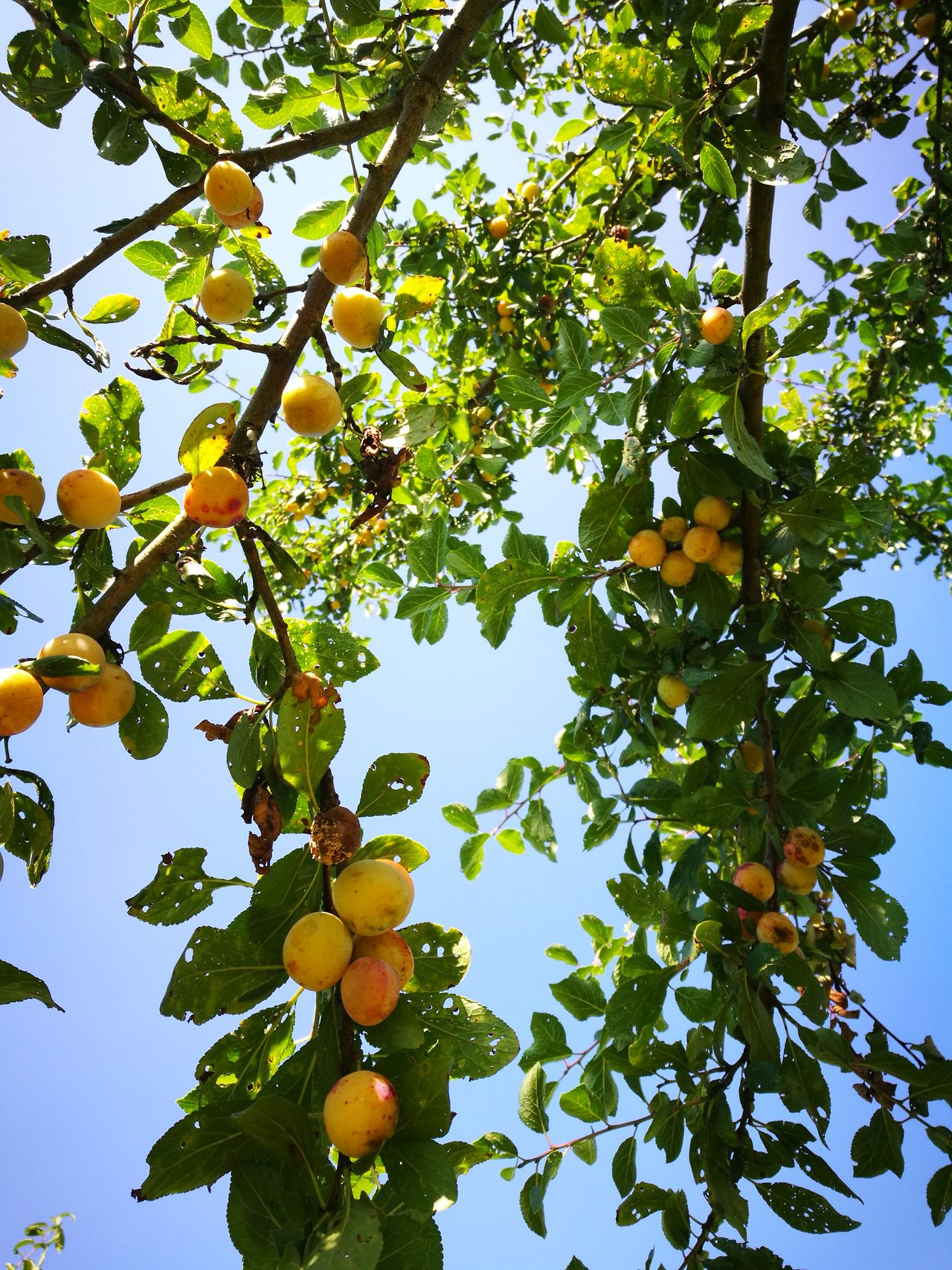 Plum Tree Sunshine Sun Light Summertime Summer Memories 🌄 Hanging Out Hello World Country Life