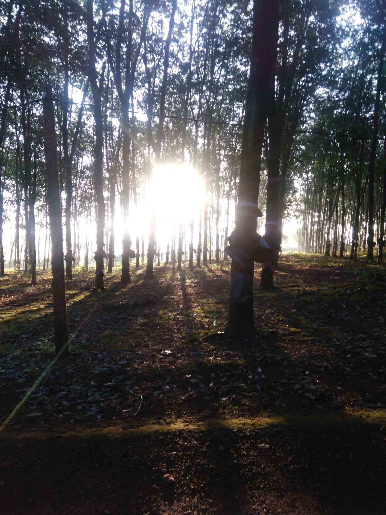 Rubber Plantation Viet Nam Morning
