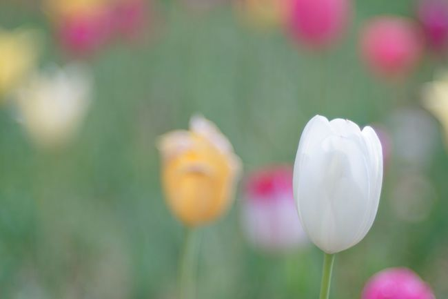 Tulips🌷 Tulip Flowers Bokeh Photography Soft Focus Bokeh Flowers, Nature And Beauty Nature Photography EyeEm Best Shots - Flowers EyeEm Best Shots - Nature EyeEm Best Shots EyeEm Nature Lover Flowerporn Nature_collection Snapshot Taking Photos Walking Around お写ん歩