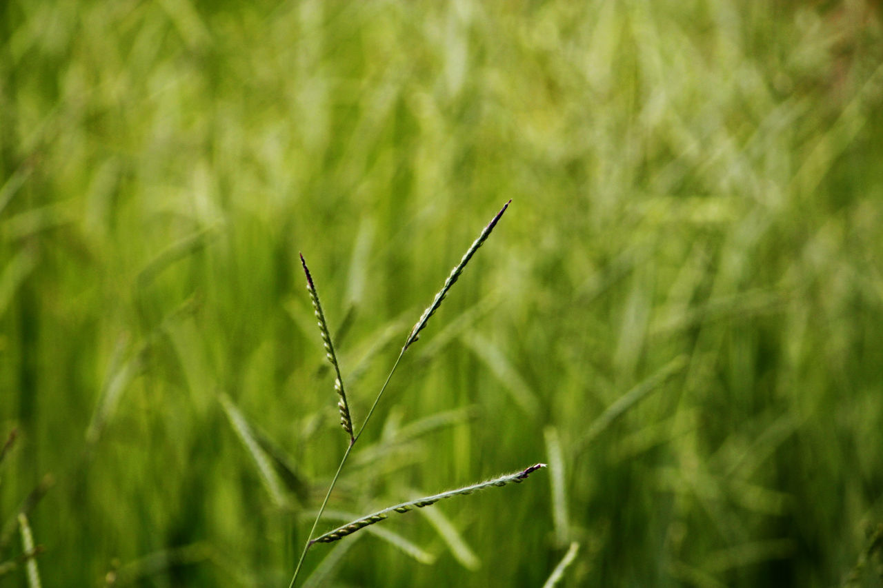 growth, nature, green color, plant, grass, no people, day, close-up, field, outdoors, beauty in nature, wheat, freshness