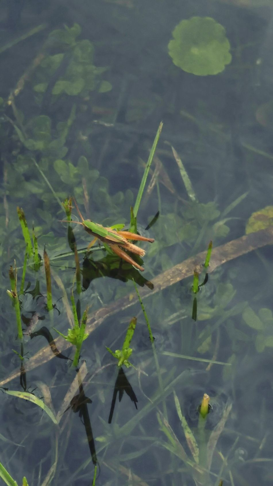 Nature's Diversities Master Of Disguise Camouflaged Insect Aquatic Life Insects Collection Insect Photography Reflection In The Water Reflections And Shadows Aquatic Plants Waterscape By The Lake Tridimensional Perspective