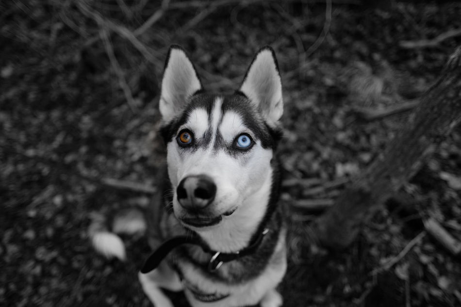 Animal Themes Close-up Coloursplash Dog Enjoying Life EyeEm Pets Eyeem Sweden Eyes FUJIFILM X-T2 Fujilove Heterochromia Hund Husdjur Husky Huskyphotography Kungshamn Looking At Camera Outdoors Pets Portrait Siberian Husky Taking Photos X-t2 XF16mmF1.4 ögon