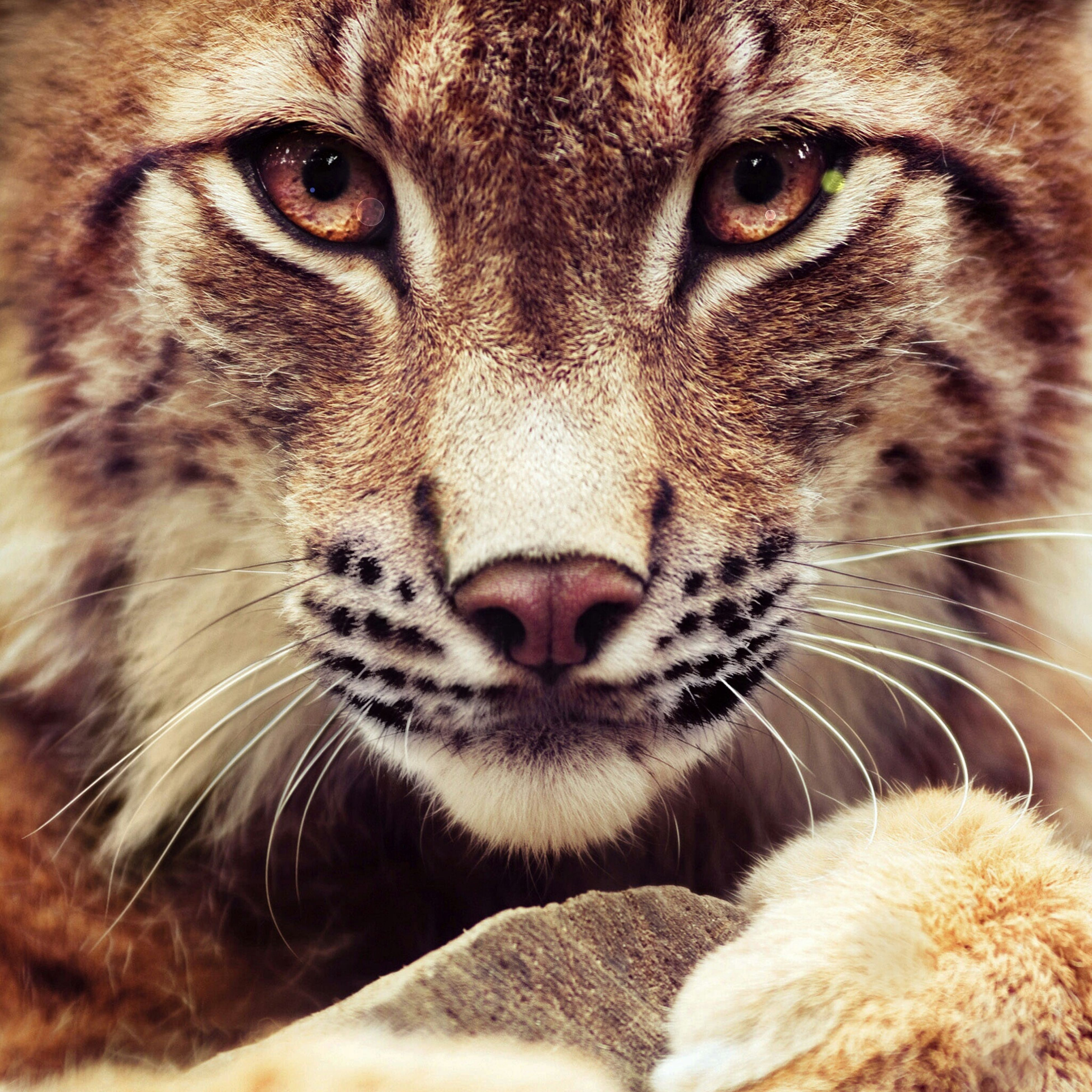 animal themes, one animal, mammal, domestic animals, pets, animal head, close-up, whisker, animal body part, portrait, domestic cat, animal eye, feline, looking at camera, animal nose, cat, focus on foreground, snout, indoors, part of